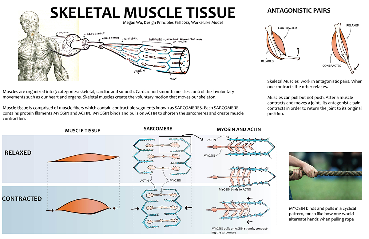 muscleinfoboard